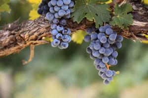 Comienza la época de vendimia y es un buen momento para conocer las propiedades nutritivas de las uvas